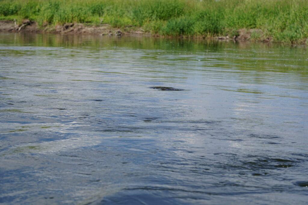 Missouri River Trout surface Rise