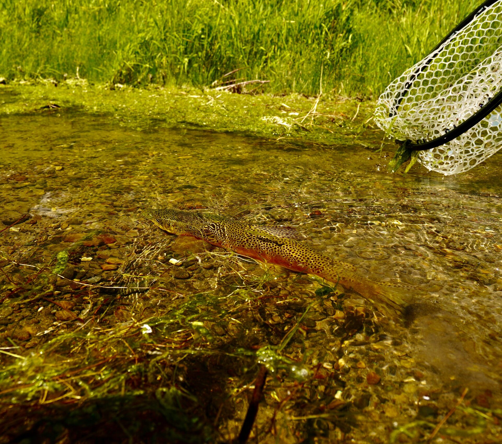 A Missouri River Brown Trout is released