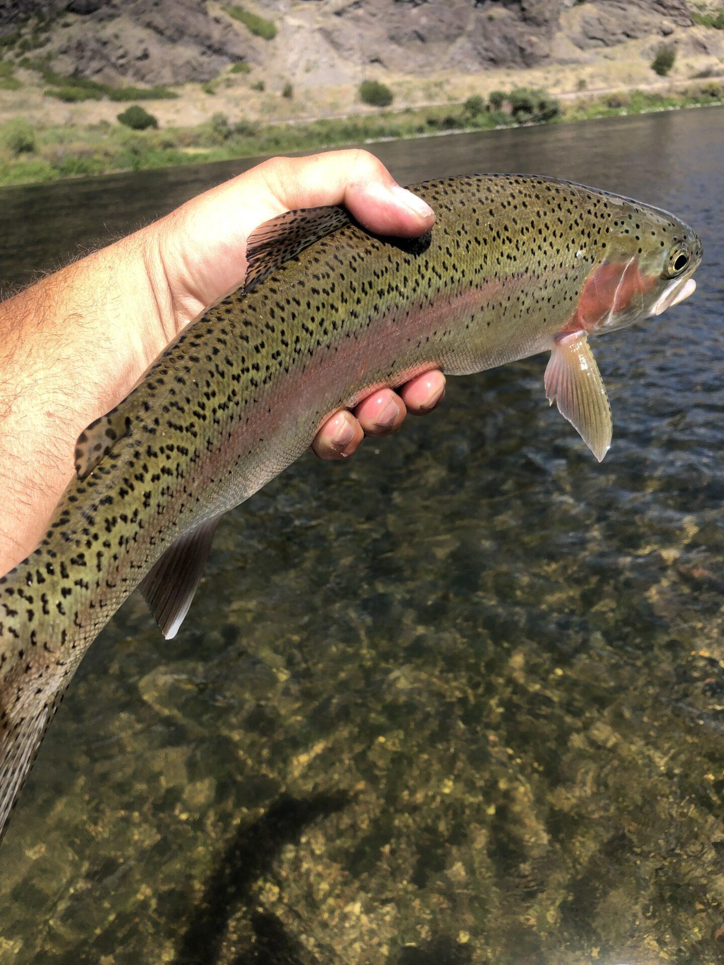Missouri River Rainbow Trout