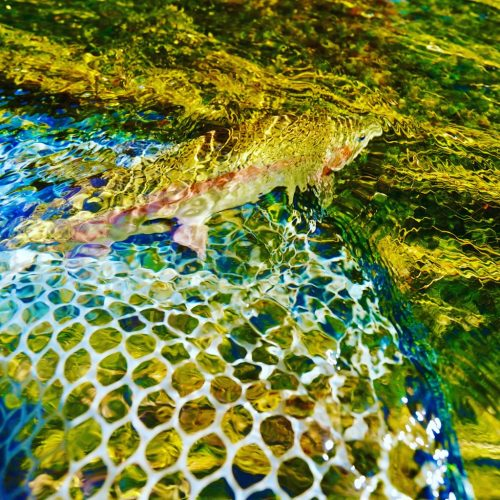 Missouri River Rainbow Trout being released from a net