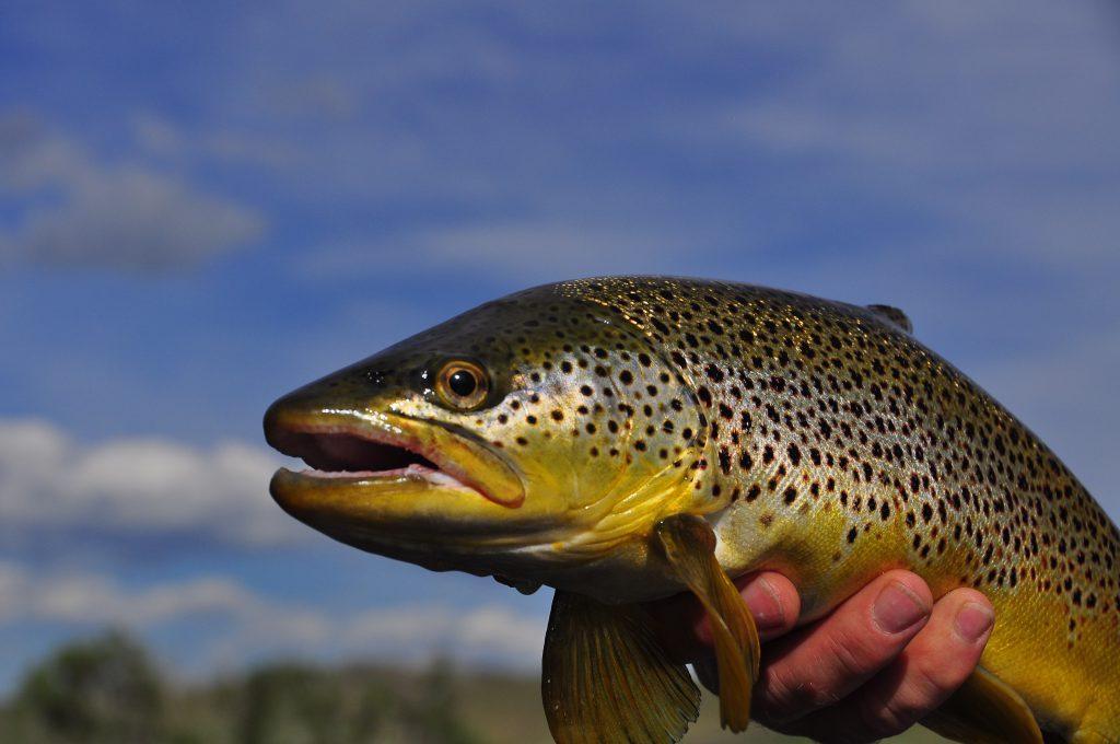 A brwon torut caught on Montana's Missouri River